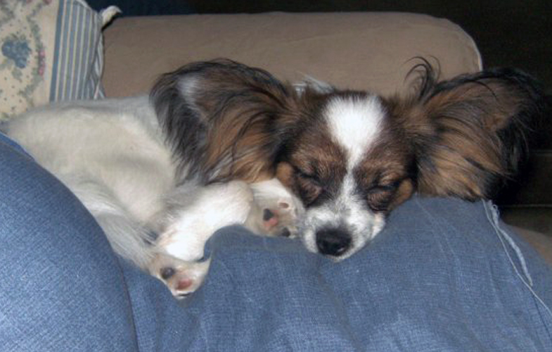 putte sover papillon hund