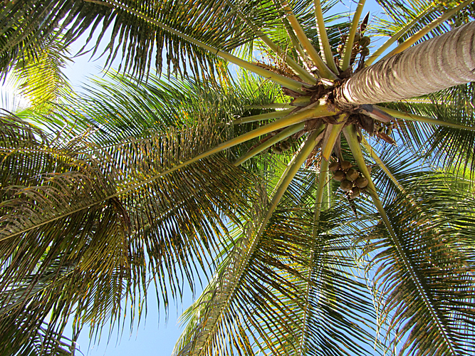 palm himmel cocospalm